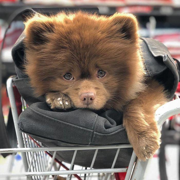 Сначала заводчик шпицев хотел избавиться от этого щенка, но потом передумал. И теперь щенок – звезда соцсетей