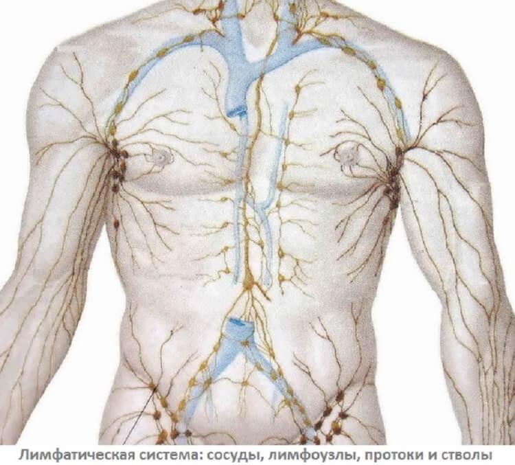 А что вы знаете о лимфатической системе и ее важности для нормальной работы организма?