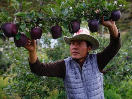 Алмазные черные яблоки ценой в 20 долларов за штуку – почему-то никто не желает их выращивать и зарабатывать…