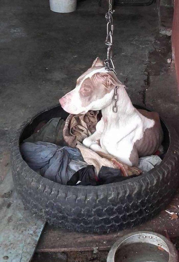 Хозяин собаку держал на очень короткой цепи, что животное даже лечь не могло