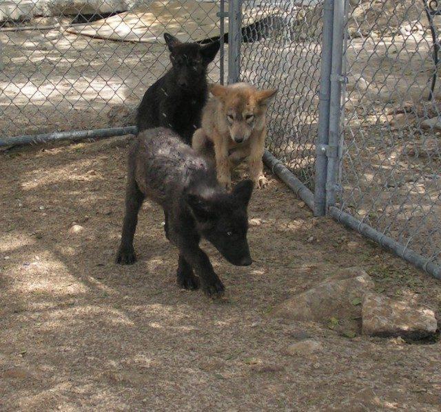 Эта женщина спасла трех щенков волка – и теперь это взрослые, гордые и красивые, животные