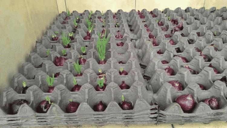 Оригинальный и эффективный способ выращивания лука дома