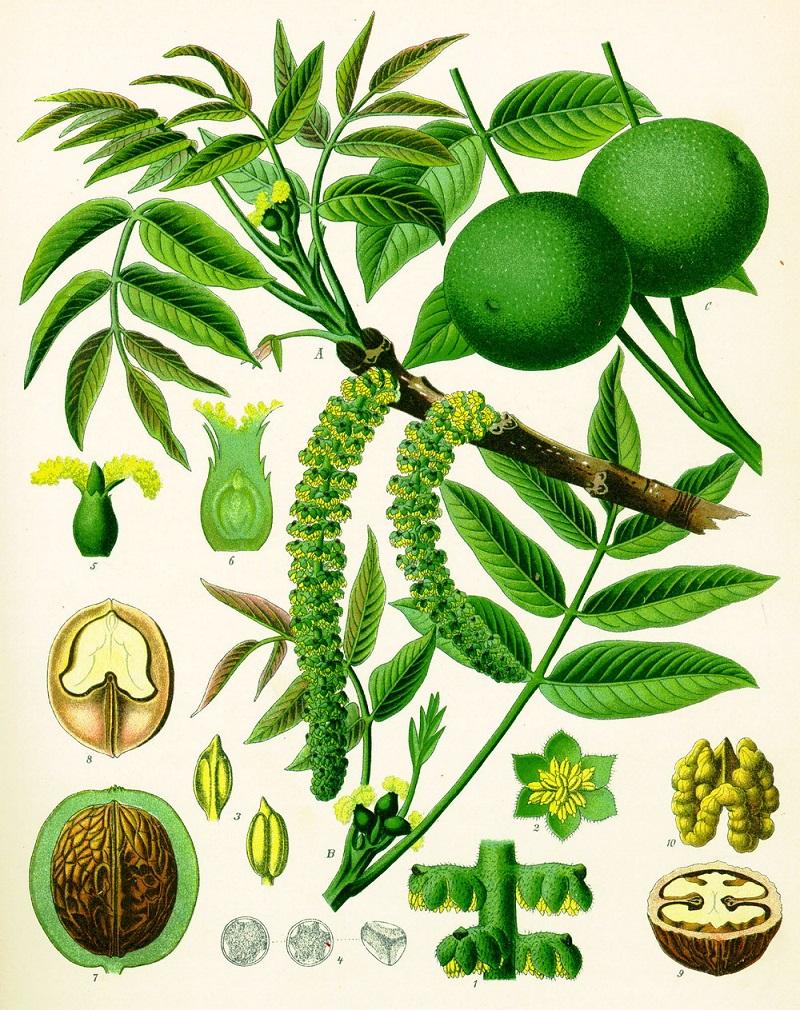 Природное средство, которого обычно заготавливаю как можно больше – листья грецкого ореха