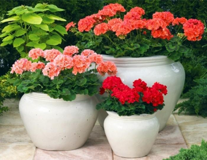 Простой и эффективный рецепт эликсира для частого и пышного цветения герани