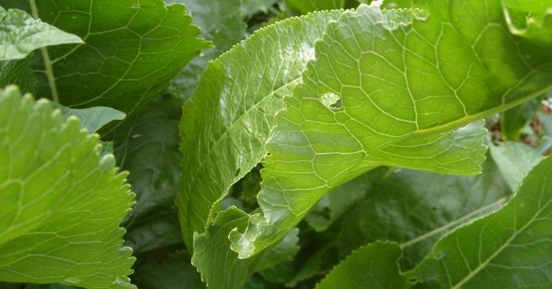 Волшебные листья – только хрен способен вытягивать соль буквально сквозь поры кожи