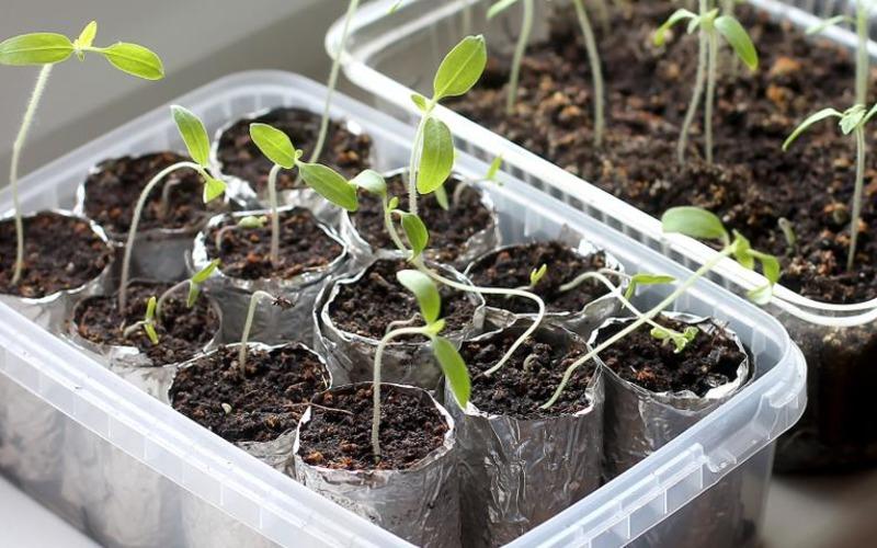 Подкормка рассады томатов – чтобы кусты были крепкими, красивыми и давали шикарный урожай