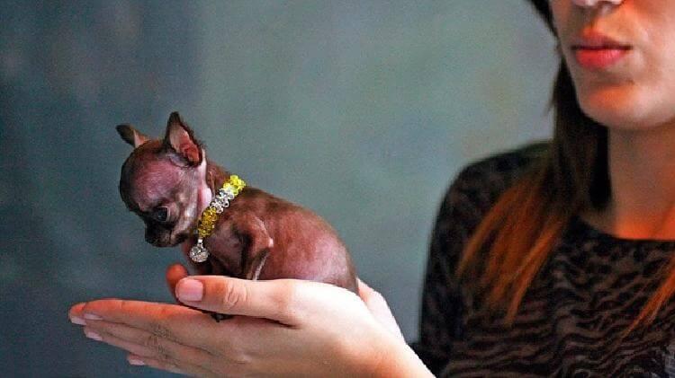 6 пород самых миниатюрных собак в мире – такие милые, словно игрушечные