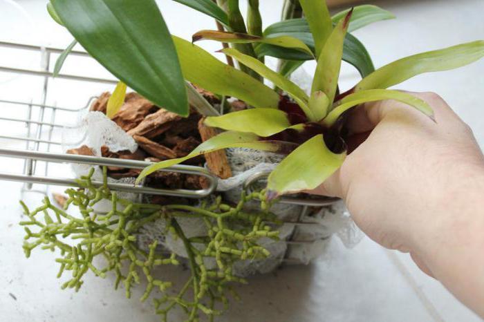 Шикарный витаминный коктейль для капризных орхидей – учимся правильно реанимировать цветок