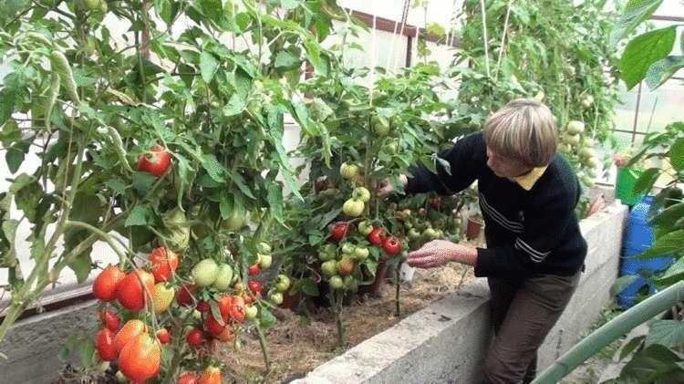 Самые лучшие подкормки для огурцов и томатов – всем хозяйкам записывать обязательно